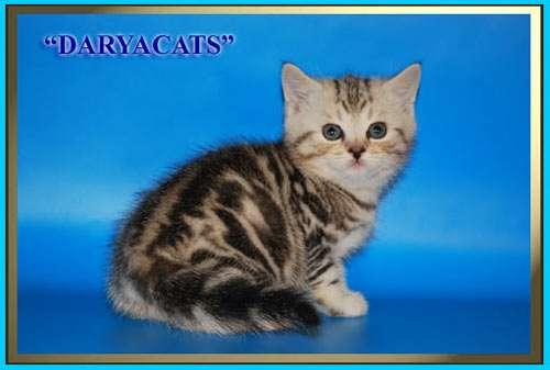 Британские и шотландские котята мраморного окраса