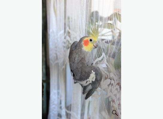 Попугай Корелла самец