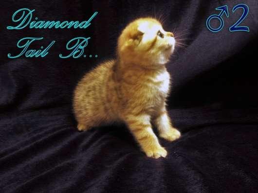 Шотландские вислоухие котята золотого окраса в г. Севастополь Фото 2