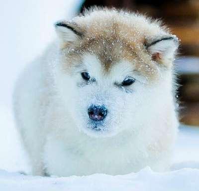 Аляскинский маламут щенки в Перми Фото 1