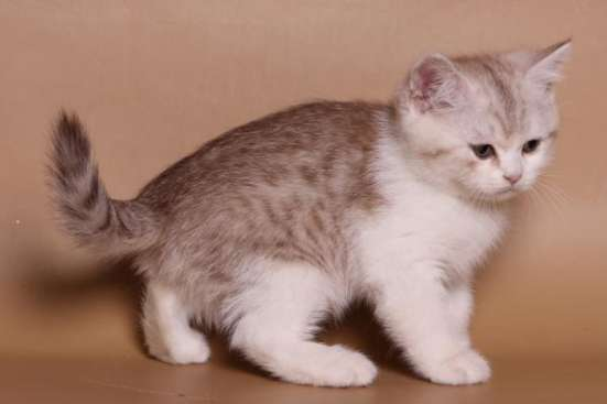 Британский котик редкого окраса