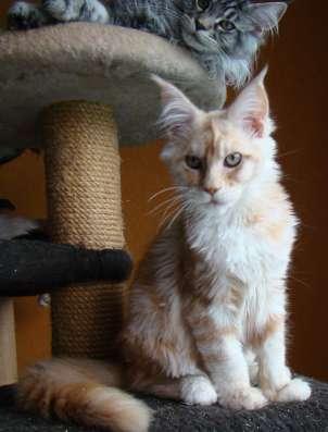Продам кошечку породы мейн кун - Ксена в Томилино Фото 4