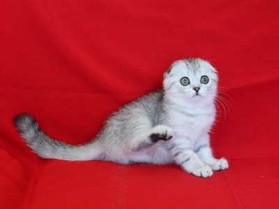 Шотландские вислоухие котята ArtsFamily в Ростове-на-Дону Фото 1