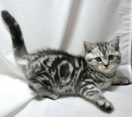 Клубный шотландский котенок
