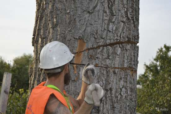 Удаление деревьев в Старом Осколе Фото 3