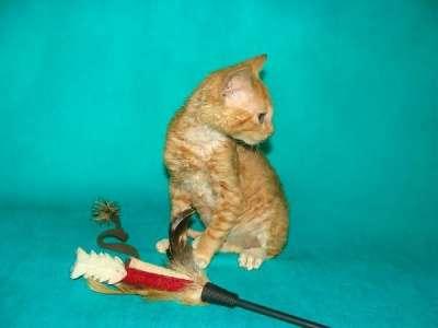 красный кудрявый котик