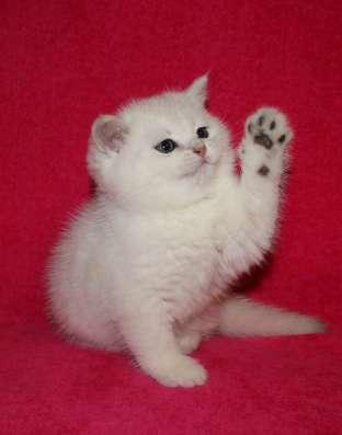 Британские котята элитных окрасов