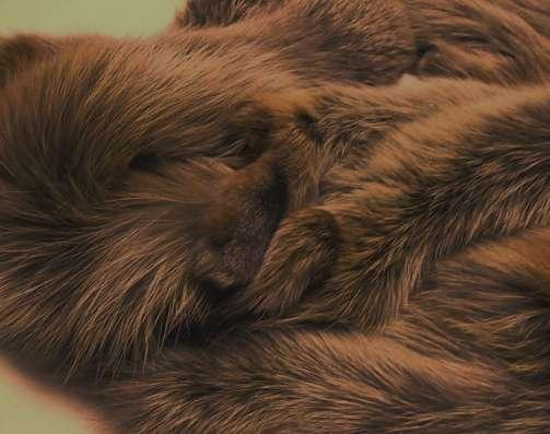 Шкурки лисы коричневой