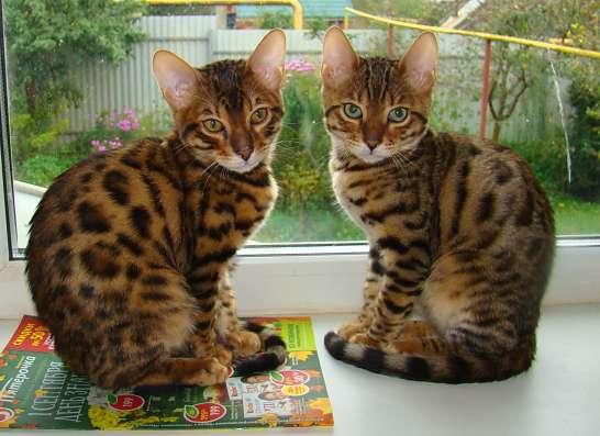 Очаровательные бенгальские котятки с документами, прививками