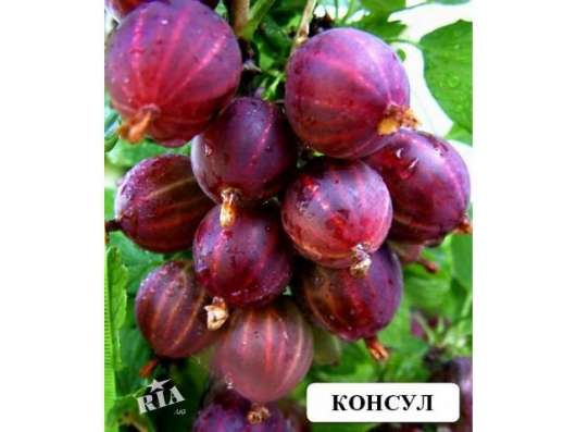 Двухлетние саженцы яблони в Красноярске Фото 2