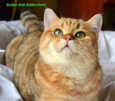 Золотой шотландский котик в Москве Фото 1