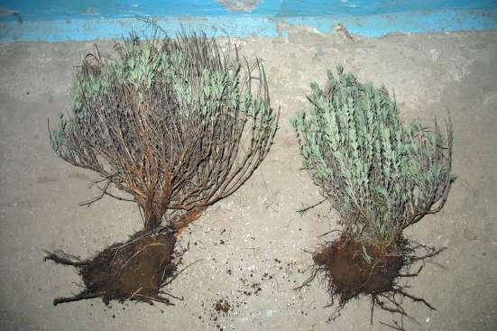 Саженцы лаванды в г. Симферополь Фото 3